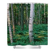Birch Trees In A Forest Shower Curtain