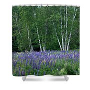 Birches In The Blue Lupine Shower Curtain