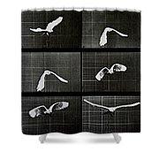 Bird In Flight Shower Curtain by Eadwerd Muybridge