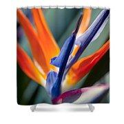 Bird Of Paradise - Strelitzia Reginae  Shower Curtain
