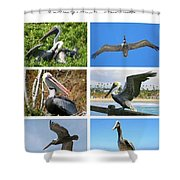Birds - Pelicans - Boxed Cards Shower Curtain