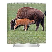 Bison Calf Having Breakfast In  Yellowstone National Park Shower Curtain