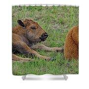 Bison Calves  Shower Curtain