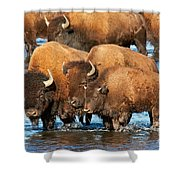 Bison Family In The Lamar River In Yellowstone National Park Shower Curtain
