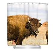 Bison On Tall Grass Iv Shower Curtain