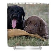 Black And Chocolate Labradors Shower Curtain