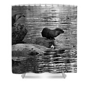 Black And White Otters In The Wild Shower Curtain
