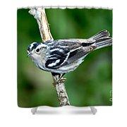 Black-and-white Warbler Mniotilta Varia Shower Curtain