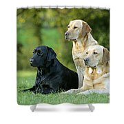 Black And Yellow Labrador Retrievers Shower Curtain