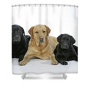 Black And Yellow Labradors With Puppy Shower Curtain