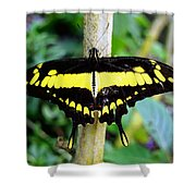 Black And Yellow Swallowtail Butterfly Shower Curtain
