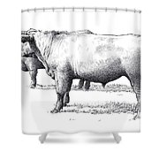 Black Angus Steers On Almshouse Road Shower Curtain by William Beauchamp