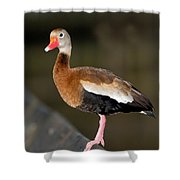 Black-bellied Whistling Duck Shower Curtain