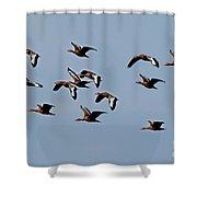 Black-bellied Whistling Ducks In Flight Shower Curtain