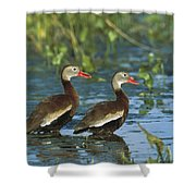 Black-bellied Whistling Ducks Wading Shower Curtain