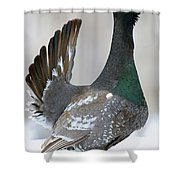 Black-billed Capercaillie Displaying Shower Curtain