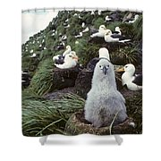 Black-browed Albatross Chick Sitting On Shower Curtain by Joel Bennett