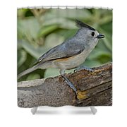 Black-crested Titmouse Shower Curtain