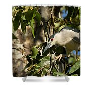 Black-crowned Heron Looking For Nesting Material Shower Curtain
