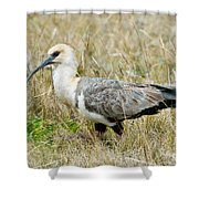 Black-faced Ibis Shower Curtain