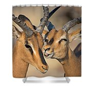 Black-faced Impalas Aepyceros Melampus Shower Curtain