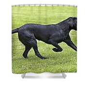 Black Labrador Playing Shower Curtain