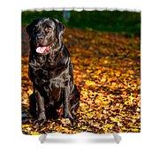 Black Labrador Retriever In Autumn Forest Shower Curtain
