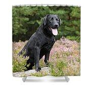 Black Labrador Retriever Shower Curtain