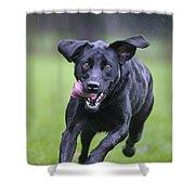 Black Labrador Running Shower Curtain