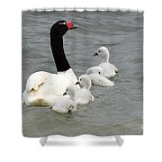 Black Necked Swan Patagonia  Shower Curtain