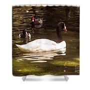 Black-necked Swan Shower Curtain