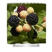 Black Raspberries Shower Curtain