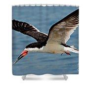 Black Skimmer In Flight Shower Curtain