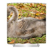 Black Swan Cygnet Shower Curtain