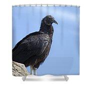 Black Vulture - Coragyps Atratus  Shower Curtain