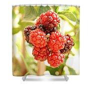 Blackberries Ripening Shower Curtain