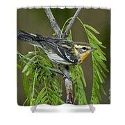 Blackburnian Warbler Shower Curtain