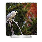 Blacked-capped Night Heron #3 Shower Curtain