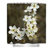 Blackthorn Or Sloe Blossom  Prunus Spinosa Shower Curtain