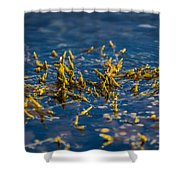 Bladder Seaweed, Fucus Vesiculosus Shower Curtain