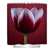 Abstract Red White Flowers Tulips Macro  Photography Art Shower Curtain