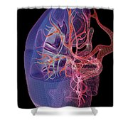 Blood Supply Of The Kidneys Shower Curtain