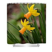 Blooming Daffodils Shower Curtain
