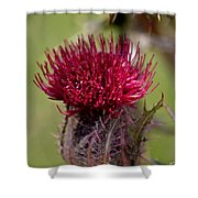 Blooming Spear Thistle Shower Curtain