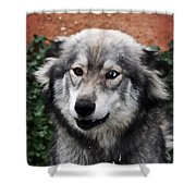 Blue And Brown Eyed Husky Shower Curtain