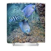 Blue Angelfish Feeding On Coral Shower Curtain