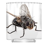 Blue Bottle Fly Species Calliphora Vomitoria Shower Curtain