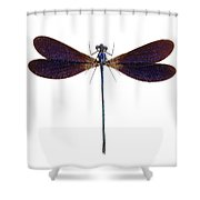 Blue Dragonfly Species Vestalis Luctuosa Shower Curtain