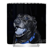 Blue Eyed Lab Smiling For The Camera Shower Curtain