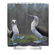 Blue-footed Booby Courtship Dance Shower Curtain